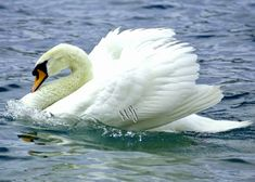 Beautiful Swan, Beautiful Moments, Beautiful Birds, Bird Pictures, Free Pictures, Free Images, Nature Animals, Animals And Pets, Cygnus Olor