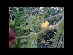 Cultivo y germinación de sandía con sustratos hidropónicos OASIS® EASY P...