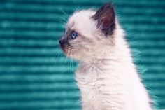 Fine art photography. blue eyes. Animal Photography. Original Decor. Adorable little fluffy kitten. color photo. turquoise teal. white cat