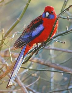 Crimson Rosella bird - how pretty!