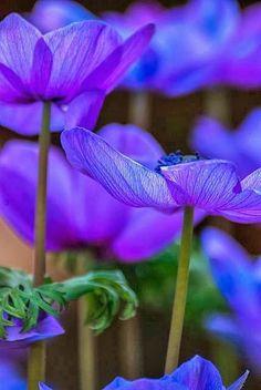 Anemone, Chicago Botanic Garden / / Flowers /// the color! My Flower, Purple Flowers, Beautiful Flowers, Anemone Flower, Cut Flowers, Beautiful Gorgeous, Chicago Botanic Garden, Foto Art, All Things Purple