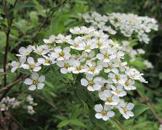 Norjanangervo-Spiraea ×