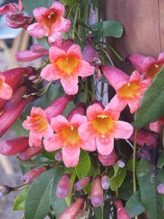 Tangerine Vine Flowers