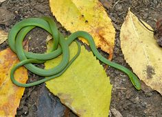 Rough Greensnake,  Learn more about St. Michaels and our waterfront rental  homes we have to offer. Visit our website at  www.tidewatervacations.com or just give us a call! 443 786 7220