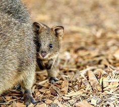 Epic Quokkas Rottnest Island Western Australia