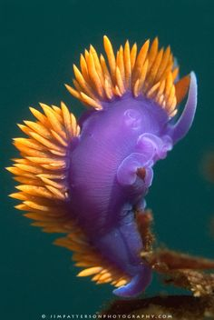 A spanish shawl sea slug feeds on a hydroid | Jim Patterson Photography