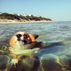 Punkin takes a relaxing swim at Cape Cod there isn't much funnier than a corgi swimming