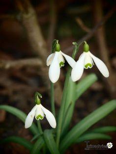 Galanthus nivalis - Sneeuwklokje