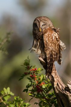 raindropsonroses-65: (via 500px / Sleepy Head - barred owl by Ron Bielefeld)