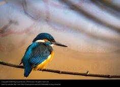 Foto 'Eisvogel im Sonnenuntergang' von 'Skymountain.de'