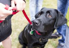 A Labrador retriever is intently focused on the walker even though there are plenty of distractions around.