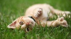 Les chats se roulent volontiers sur la pelouse: ils aiment l'herbe, pas seulement pour la mâcher ou la renifler.