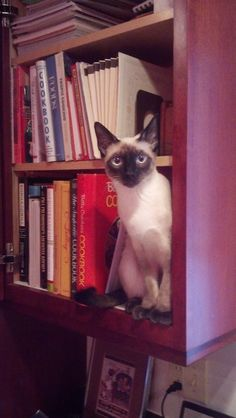 Pip - Classic Seal Point Siamese