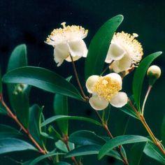 Pilidiostigma rhytispermum - small leaved plum myrtle