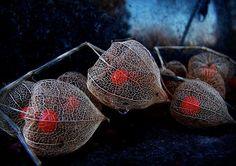chinese lantern plant | chinese lantern plant | ... Portfolio › Hozuki [Chinese lantern ...