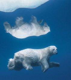 Un ours polaire nage dans les eaux glacées aux alentours de Nunavut, territoire inukophone du Canada (Crédit photo : Paul Nicklen)