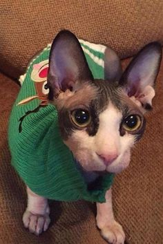 Cute picture of Sphynx breed Cat Images Hd, Funny Cat Images, Funny Cat Videos, Funny Cat Pictures, Funny Cats, Cat Pictures For Kids, Cute Cats Photos, Ralf Schmitz, Worlds Cutest Animals