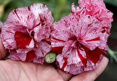 "Dianthus 'Cheshire Cat' ""Perpetual Carnation"""