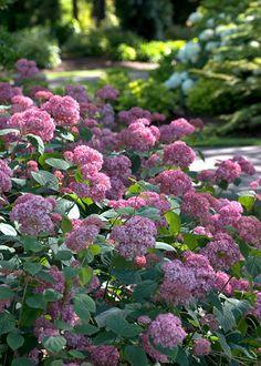 Klehm's Song Sparrow Farm and Nursery--Woody Plants--Hydrangea arborescens Invincibelletm Spirit