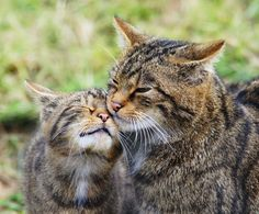 L'Assommoir Scottish wildcat and kitten