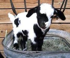 Resultado de imagen de cabras bebes