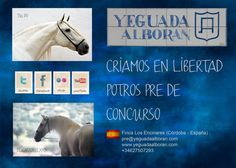 Yeguada Alborán.  Criamos en libertad potros PRE de concurso.