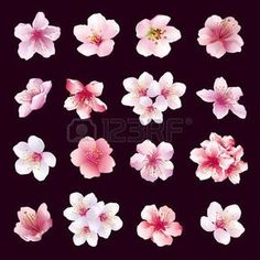Set of different beautiful cherry tree flowers isolated on black background. Big collection of pink purple white sakura blossom japanese cherry tree. Elements of floral spring design. Vector illustration photo