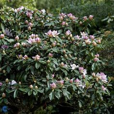 rhododendron gomer waterer - Google Search