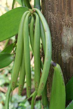 Green Vanilla Pods