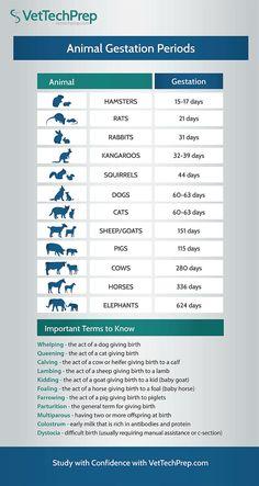 Here is an infographic for the different animal gestation periods. Veterinarian Technician, Veterinarian Assistant, Veterinarian Quotes, Veterinarian School, Vet Jobs, Jobs For Vets, Vet Tech Student, Medicine Student, Vet Med
