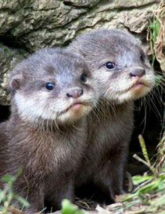 Baby Otter's