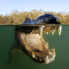diente de cocodrilo