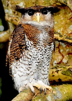 The Barred Eagle-Owl (Bubo sumatranus), also called the Malay Eagle Owl, is a species of owl in the Strigidae family. It is found in Brunei, Cocos (Keeling) Islands, Indonesia, Malaysia, Myanmar, Singapore, and Thailand. Its natural habitat is subtropical or tropical moist lowland forests.