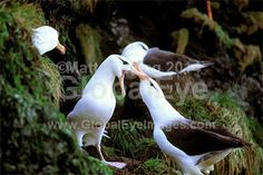 Black-browed Albatross. Pair of Black browed Albatross performnig courting rituals, on the coasta hill slopes of Macquarie Island.Photograph By Matt   Brading #BirdsPhotography