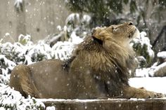 "sixpenceee: "" Luke the lion watching falling snowflakes at Smithsonian Zoo. """