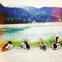 Mountain ducks
