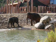 Asian elephants (Elephas maximus) in the grounds of the new Elephant House  Asian elephants (Elephas maximus) in the grounds of the new Elephant House- Zoos in Kopenhagen