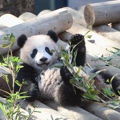 いいね!41件、コメント1件 ― M.Y.さん(@mahonegaga1225)のInstagramアカウント: 「Xiang-Xiang was relaxing リラックスしてました #animal #panda #giantpanda #babypanda #赤ちゃんパンダ # #❤…」