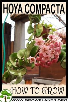 Hoya compacta - All gardening information grow and care, amount of water, sun exposure, planting season, blooming season, hardiness zone, height of the plants, pruning season, pests and diseases, growth speed, uses of the plant, flowers color , if it's grow as houseplant, tips and much more #gardening, #flowers, #plants
