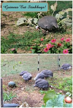 Did you know that Guineas eat stinkbugs? They also eat Japanese beetles, flies, ticks and anything else they can catch.