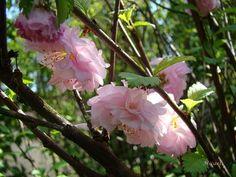 PRUNUS glandulosa Sinensis - Plantes extérieures - Plantes Shopping, jardinerie en ligne