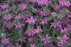 Phlomis taurica | Lambley Nursery