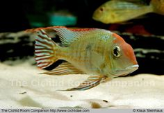 Geophagus sp 'Tapajos red head'