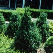 Sheridan Nurseries #Plant Introductions: Green Mountain® Boxwood, 1975. #100years. For more plant introductions, visit us at: http://www.sheridannurseries.com/100th_anniversary_homepage/sheridan_plant_introductions