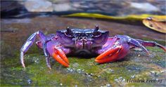 One of the newly discovered crab species, Insulamon palawanense, which is bright purple in color. Four new species of crab that sport some wild colors have been discovered near the Philippine island of Palawan. Underwater Creatures, Ocean Creatures, Underwater World, Under The Water, Under The Sea, Beautiful Creatures, Animals Beautiful, Crab Species, Crab And Lobster