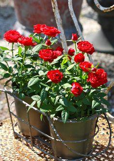 Millainen kukka olisi hyvä äitienpäivälahja? Ruukkuruusu pitää edelleen pintansa, mutta muutkin kevätkaunokaiset ilahduttavat äitiä.