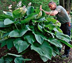 I want this giant hosta - called Hosta Empress Wu!  Love it!