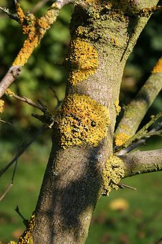 Lichen on the Mulberry tree (c) R Neil Marshman