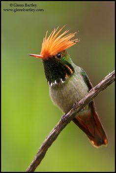 Rufous-crested Coquette, a species of hummingbird found in Bolivia, Colombia, Ecuador, Panama, and Peru | Glenn Bartley