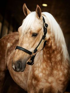 Lovely Horse, Palomino colored with dapples.